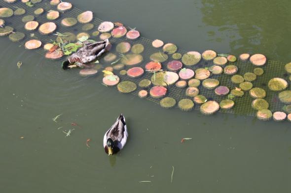 Ducks in Bordeaux.